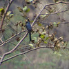 Ashy Drongo - very poor focus, but shows the blue colour (near Tikkedugnha)