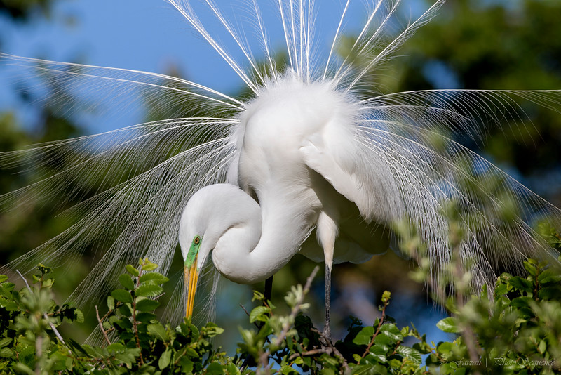 Great Egret (Breeding Plumage)
