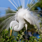 Great Egret (Breeding Plumage)