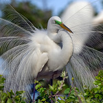 "Great Egret ""Breeding Plumage"""