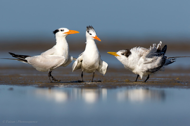 Royal Tern Family