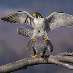 "Peregrine Falcon ""procreation"""