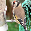 European Goldfinch compliments of Clive in the UK