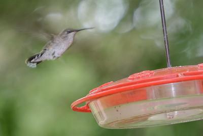 Ruby-thoated Hummingbird