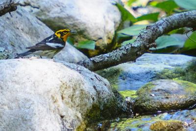 Blackburnian Warbler - male