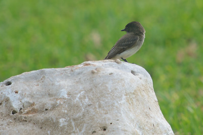 Easter Wood-Pewee