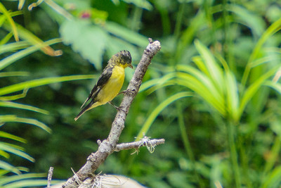Lesser Goldfinch - male