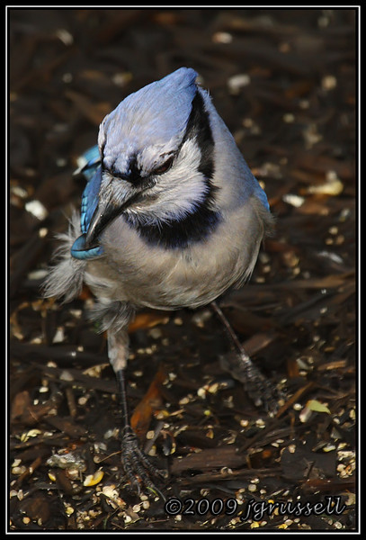 Rainy day blue jay