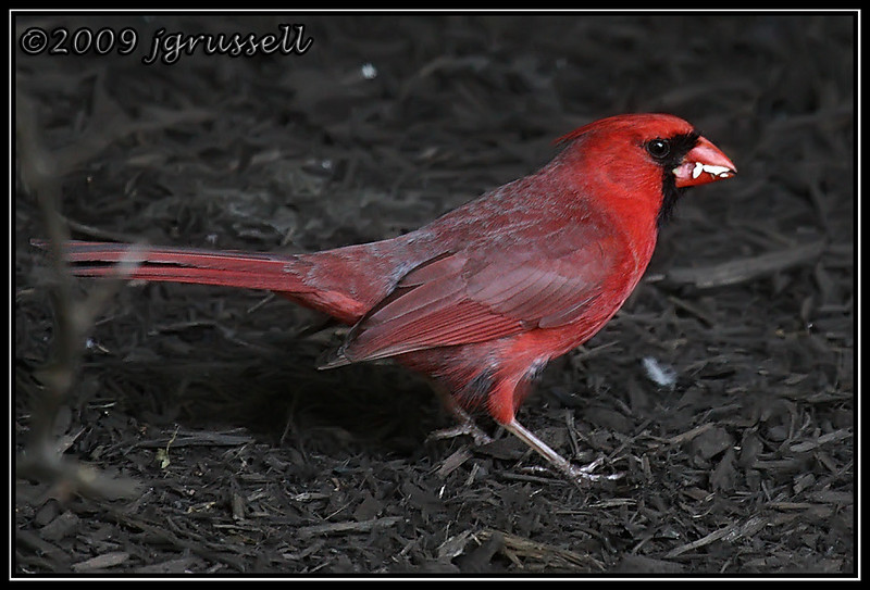 Male cardinal hard at work