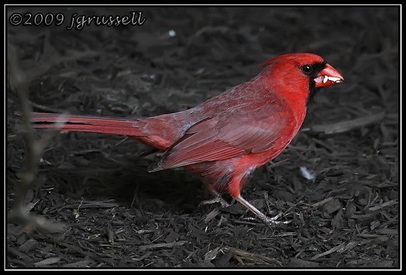 Male cardinal hard at work