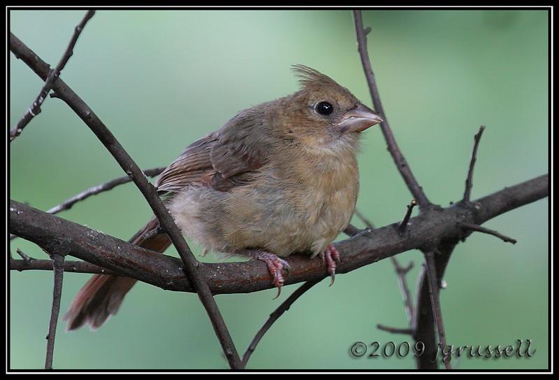 Little cardinal growing up