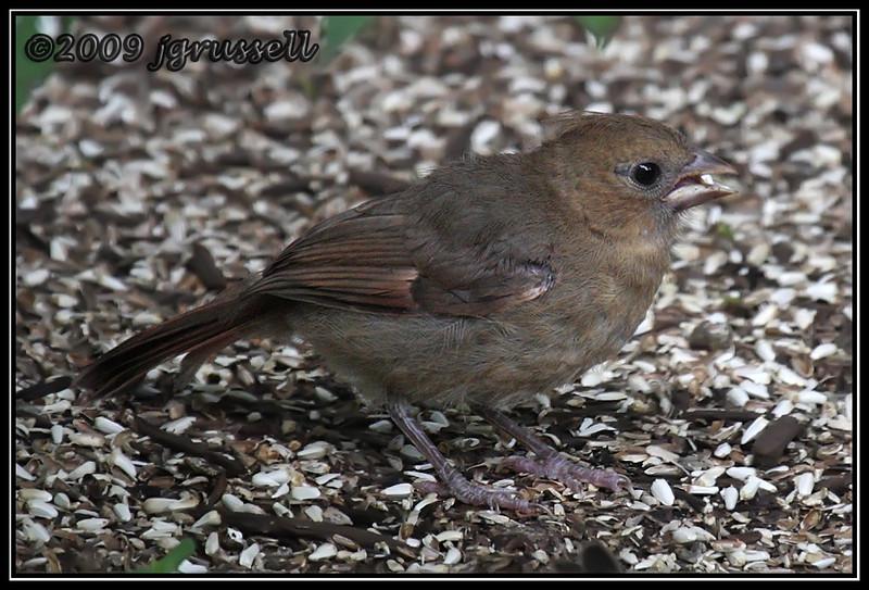 Juvenile cardinal