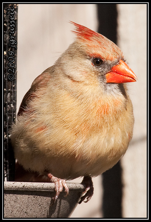 Portrait of a lady cardinal