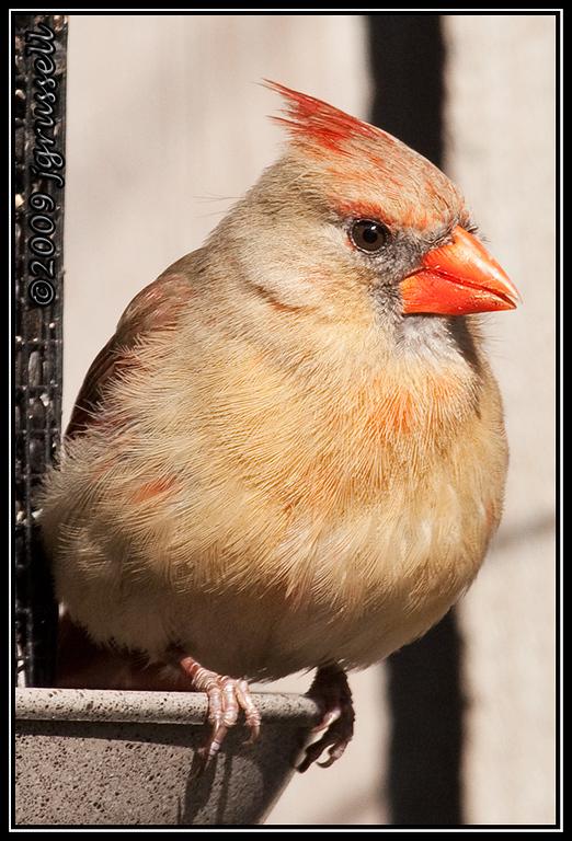 Portrait of a lady cardinal