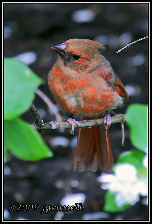 Young female northern cardinal