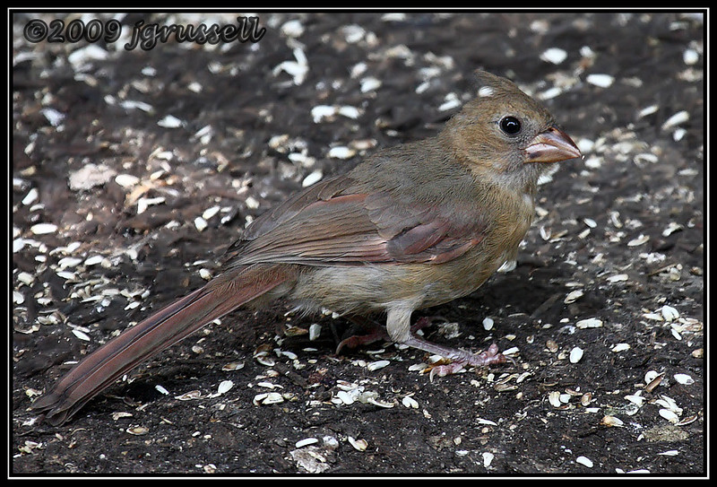 The little lady Cardinal growing up