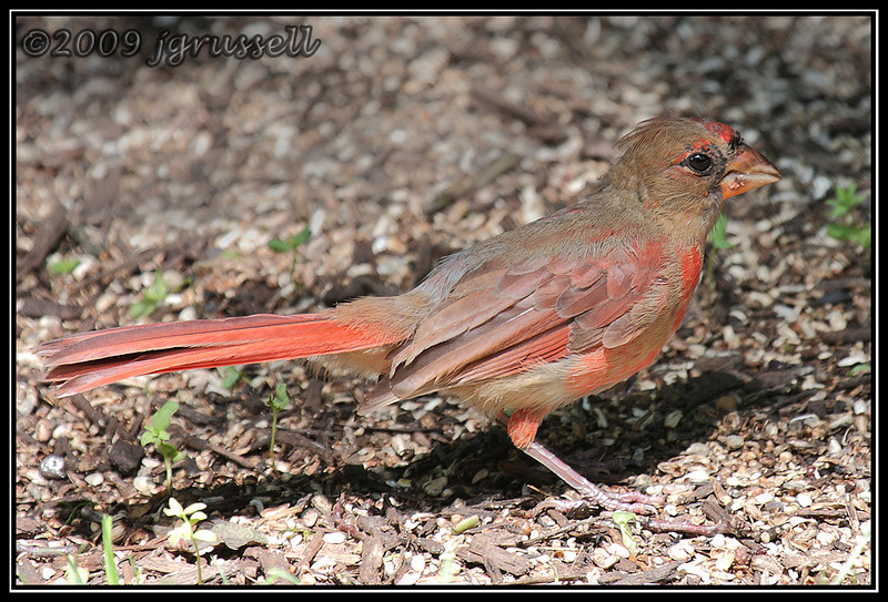 Young cardinal growing up