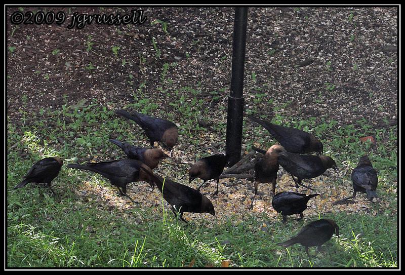 An even dozen male cowbirds