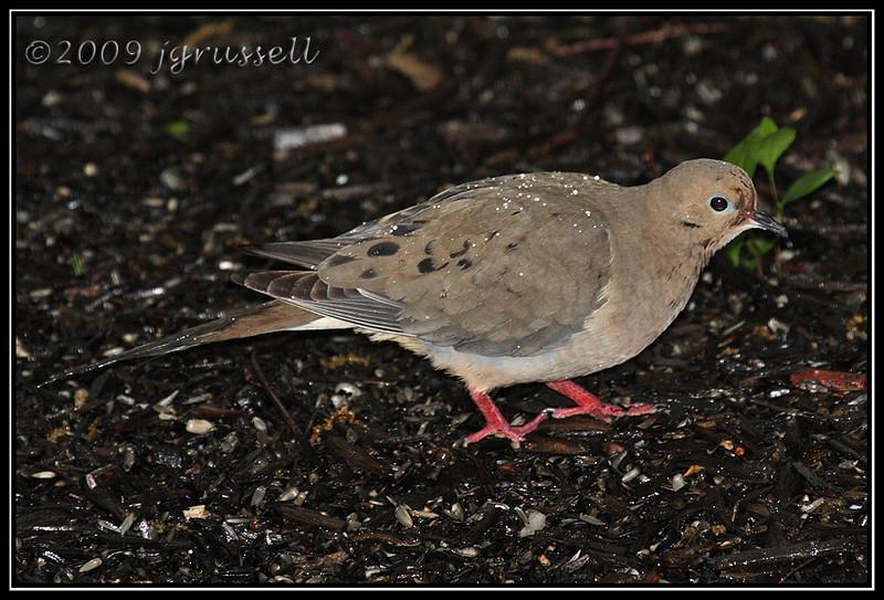 Dove in rain