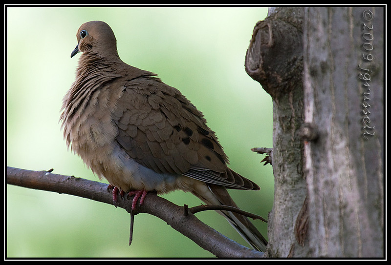 Mourning dove on branch