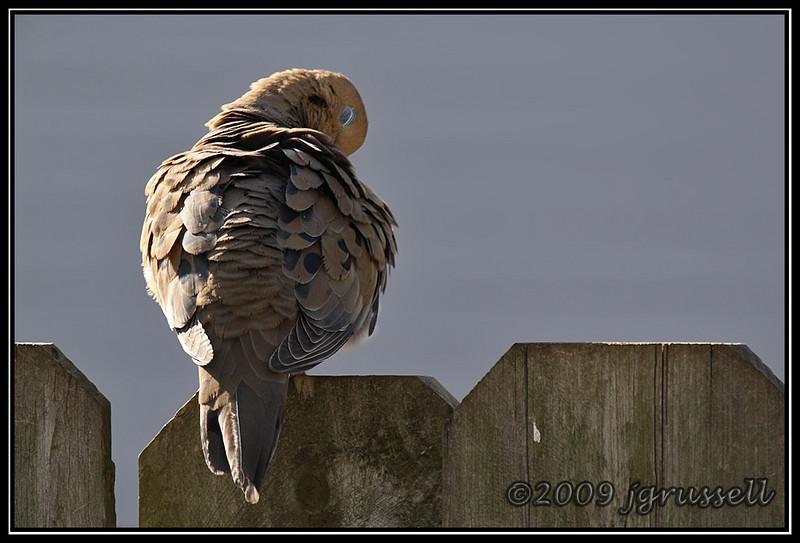 Sleepy evening dove