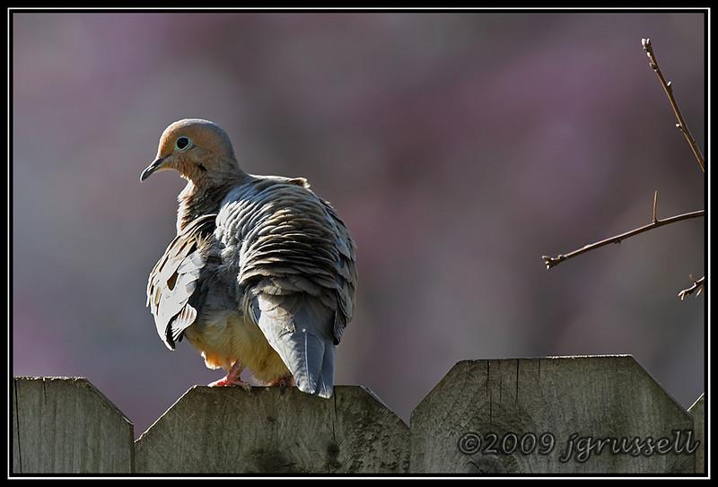 Windblown evening dove