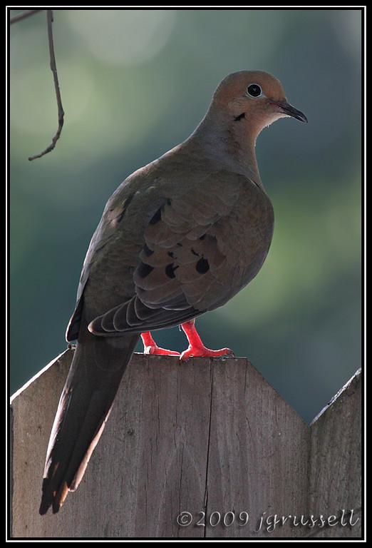 Backlit dove