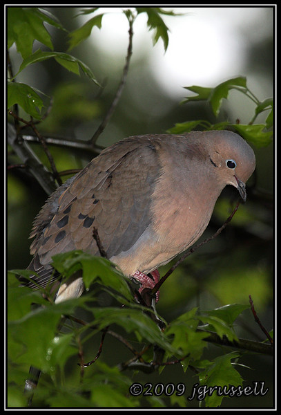 Mourning dove in the rain