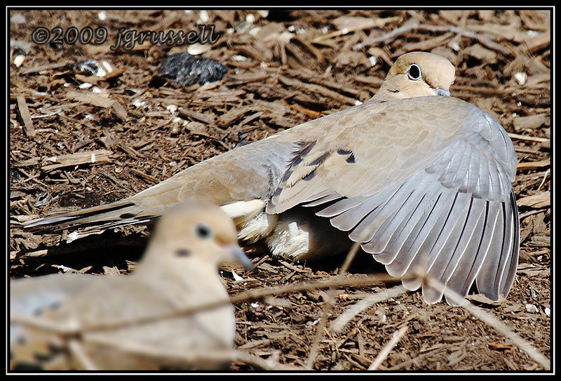 Mourning dove with drooped wing