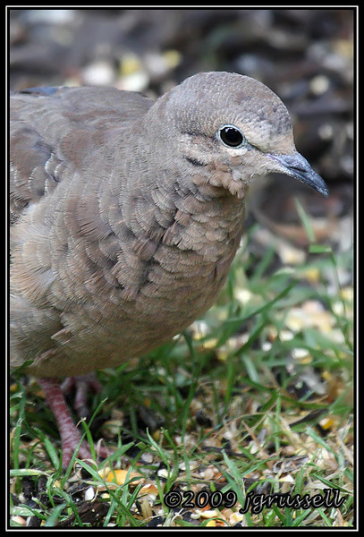Portrait of a dove