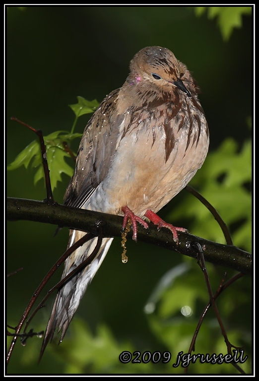 Soggy mourning dove