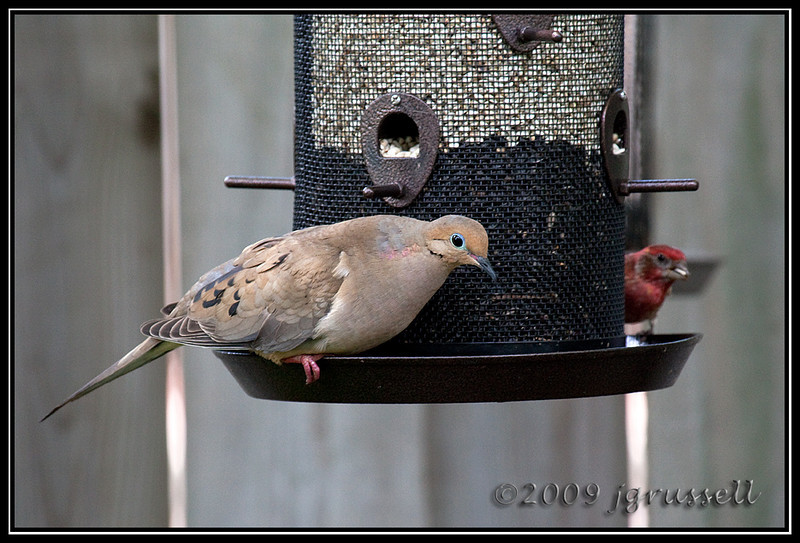 Mourning dove on feeder