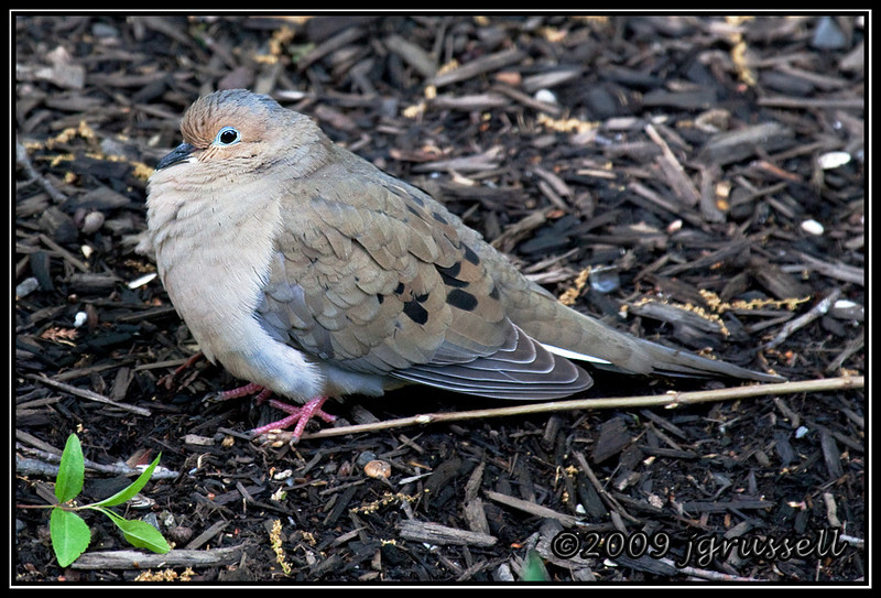 Mourning dove on ground