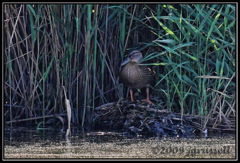 American black duck<br /> DeKorte Park<br /> NJ Meadowlands