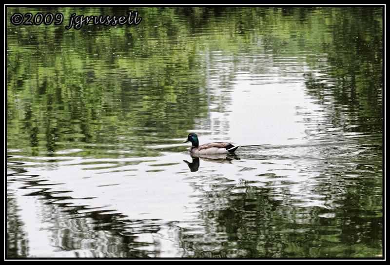 Obligatory duck