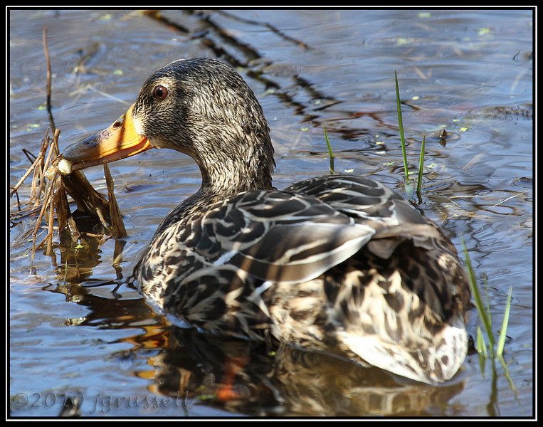 Mallard hen<br /> Great Swamp NWR