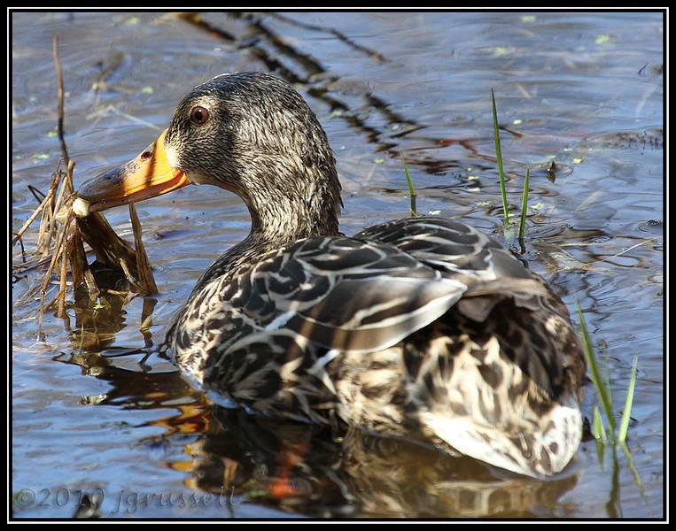 Mallard hen<br /> Great Swamp NWR