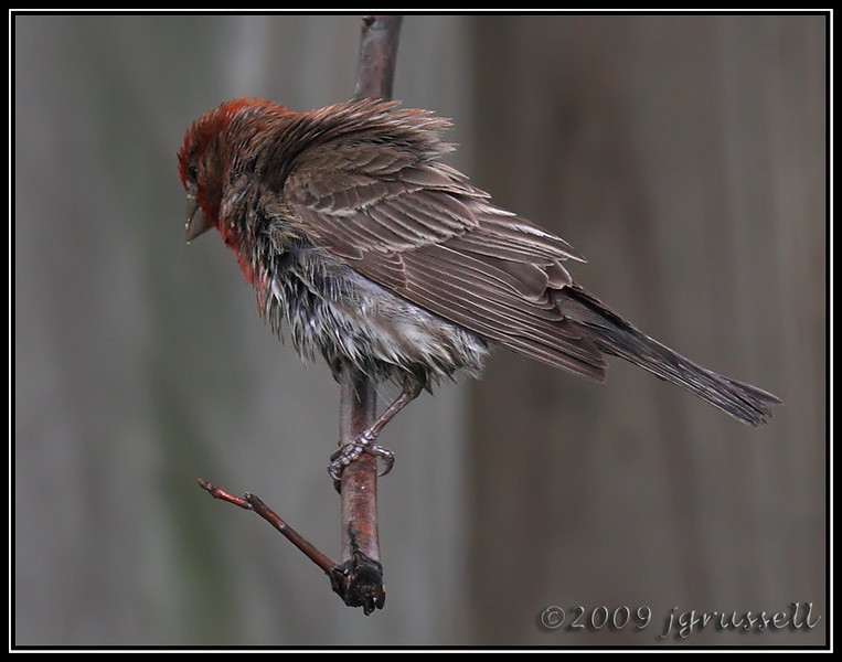 Male house finch<br /> having a bad hair day