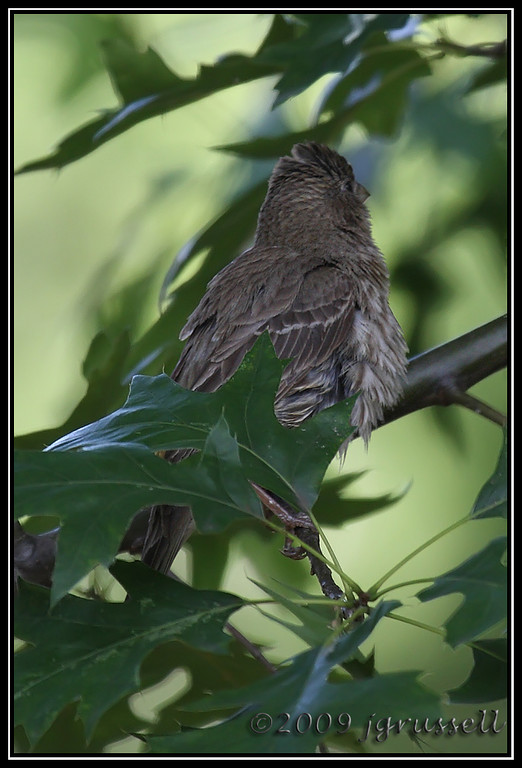 "Female house finch<br /> ""I'm fluffy, not fat!"""