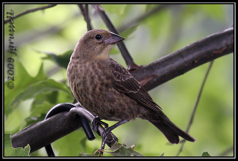 Female brown cowbird
