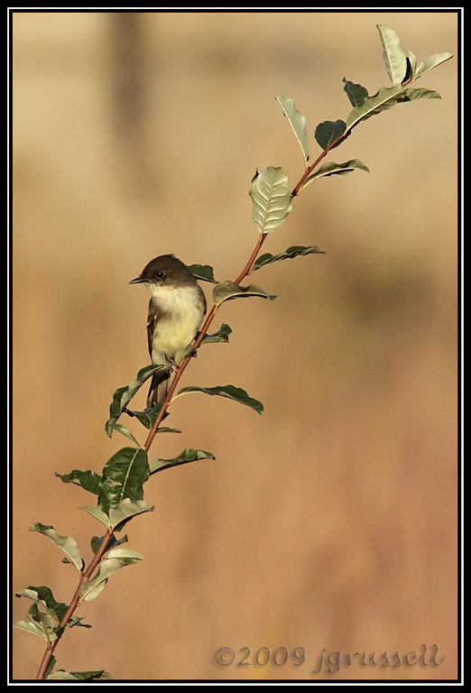 Eastern phoebe<br /> Sandy Hook