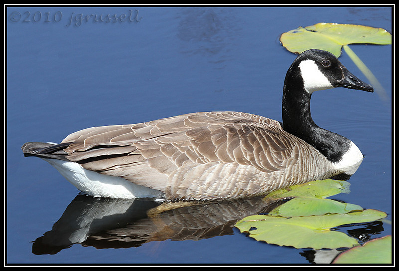Canada goose<br /> Great Swamp NWR