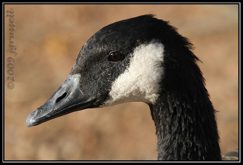 Canada goose<br /> Roosevelt Park