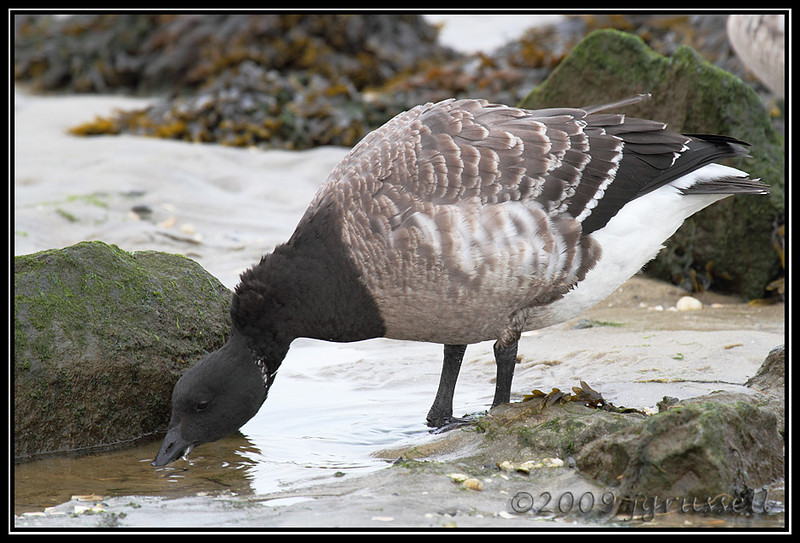 Brant - the Drinker<br /> Barnegat Light