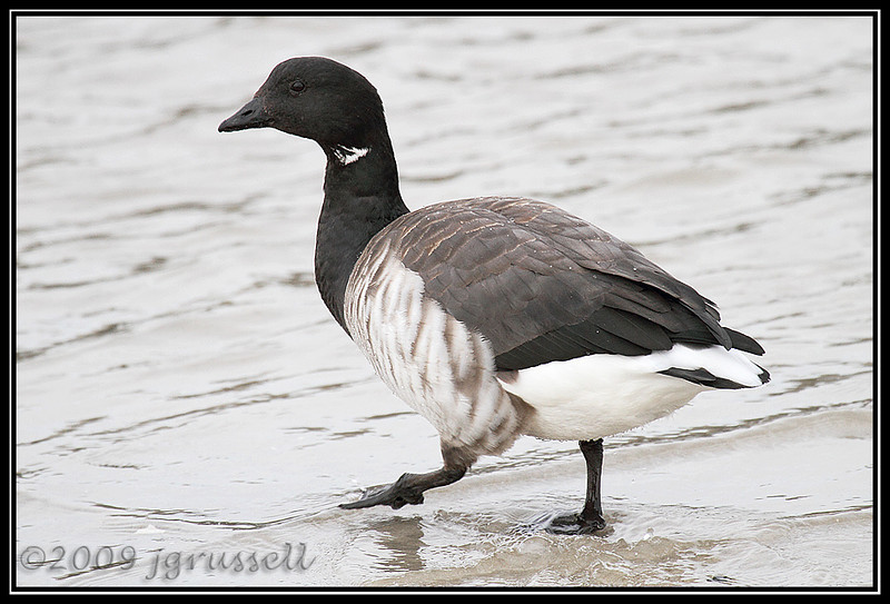 Brant - the Strutter<br /> Barnegat Light