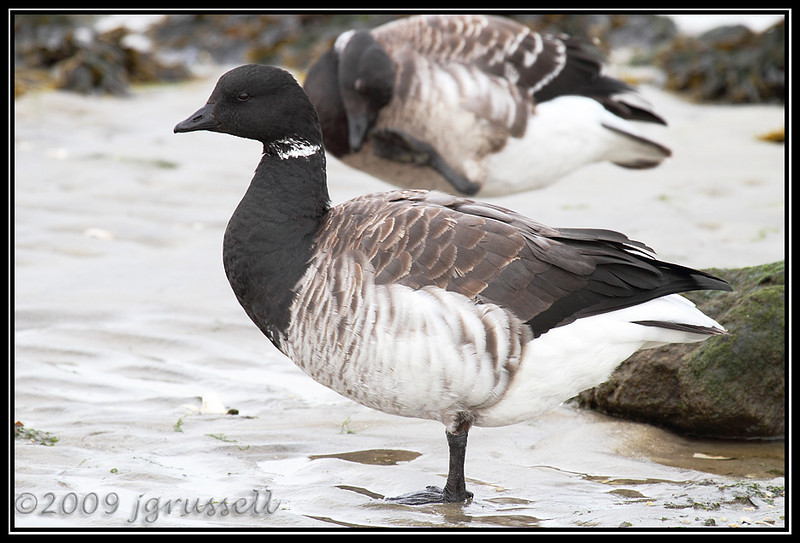 Brant - the Stander<br /> Barnegat Light