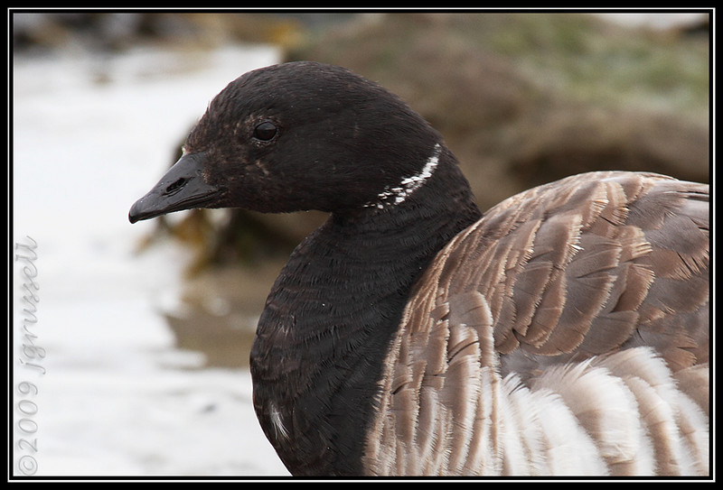 Brant - the Poser<br /> Barnegat Light