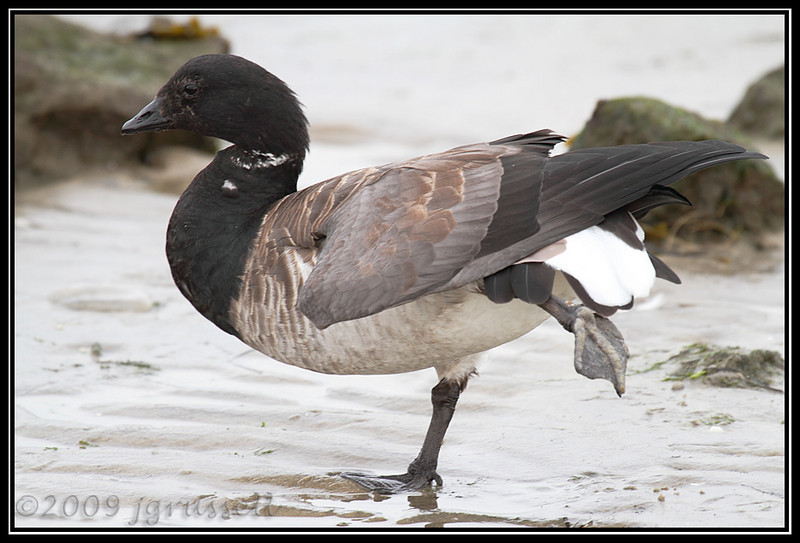 Brant - the Acrobat<br /> Barnegat Light