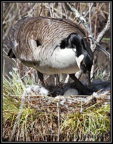 Canada goose with eggs<br /> Great Swamp NWR