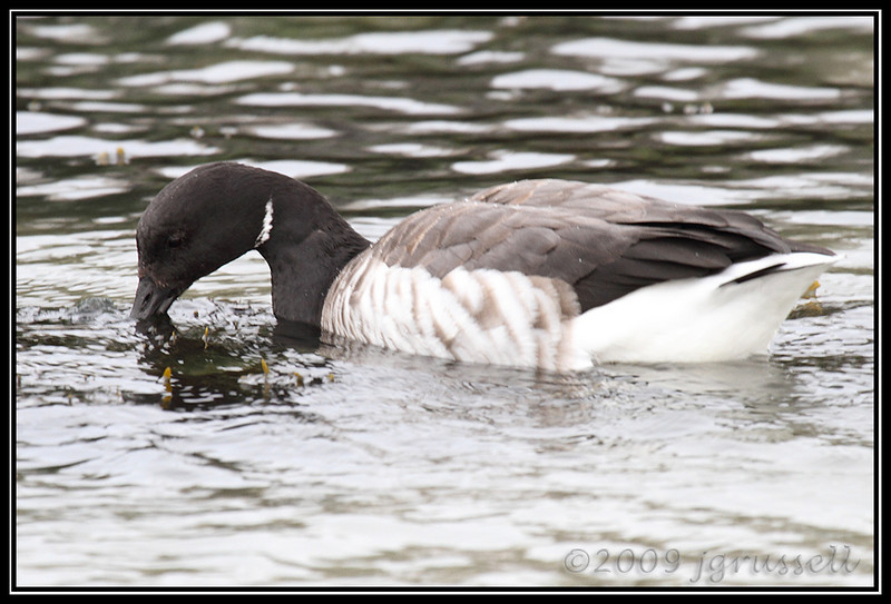 Brant - the Muncher<br /> Barnegat Light